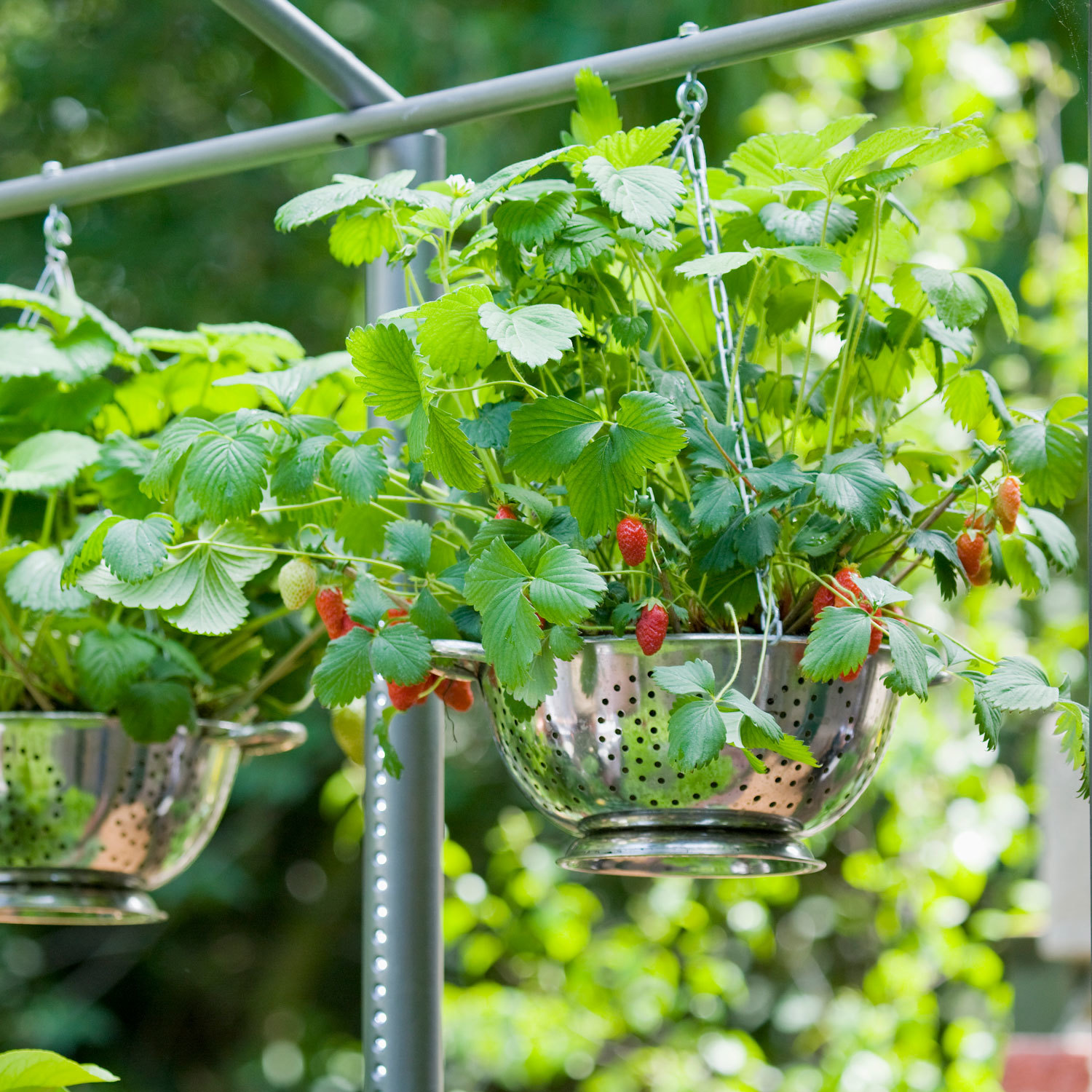 Hang a Basket of Strawberry Plants for an Easy and Adorable Garden Project