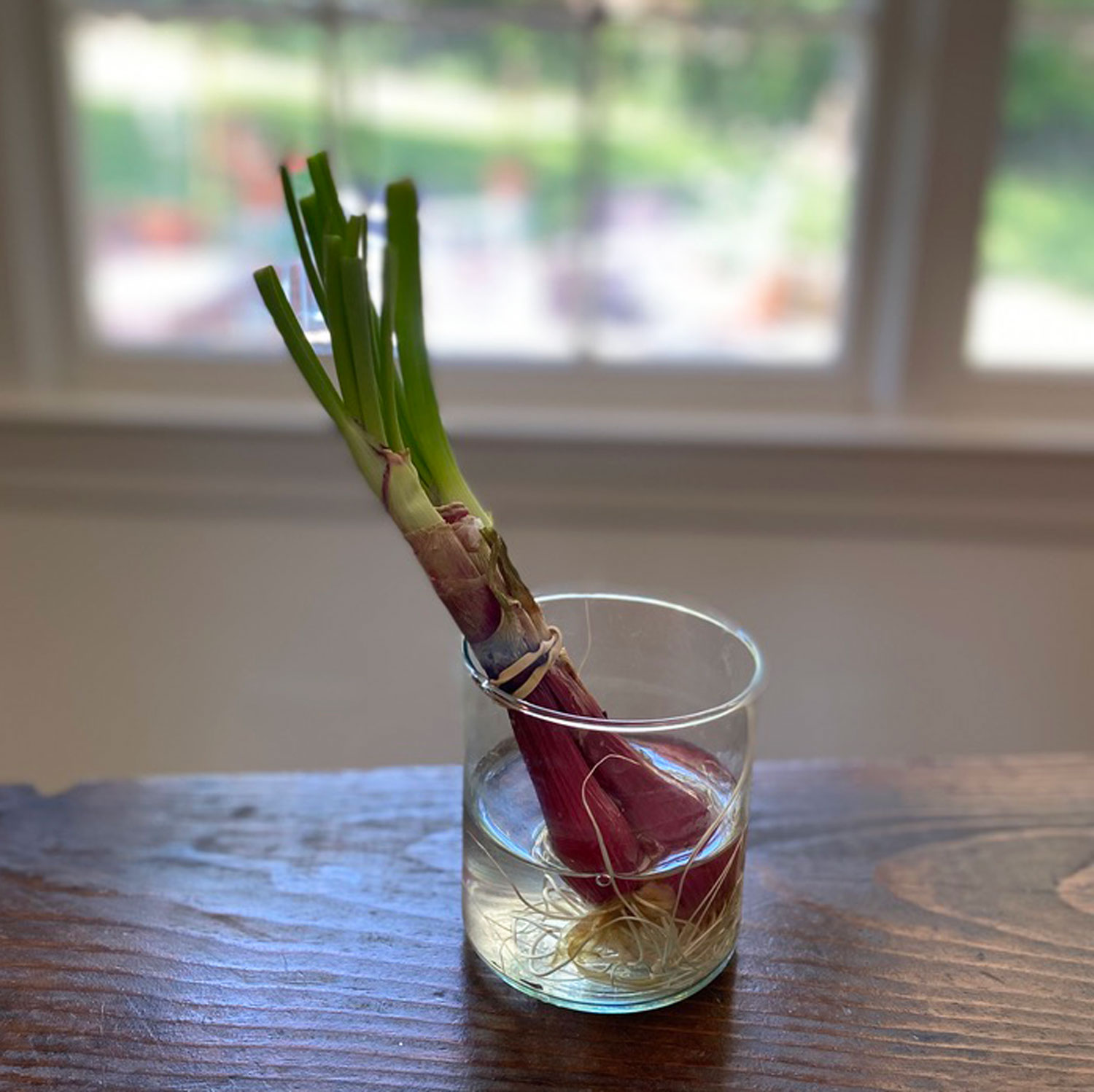 Regrowing Green Onions Is the Easiest Way to Garden