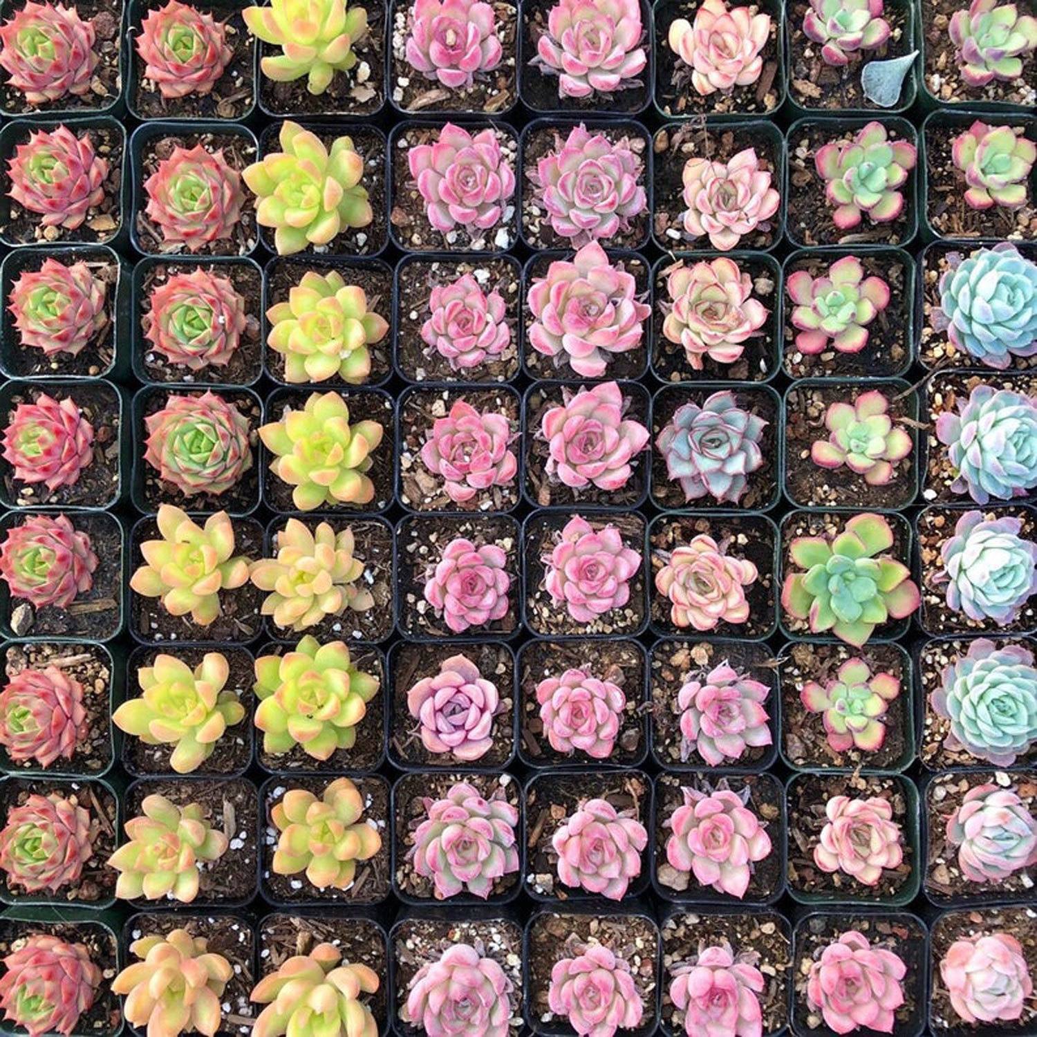 These Rainbow Succulents Will Add a Pop of Color to Your Home
