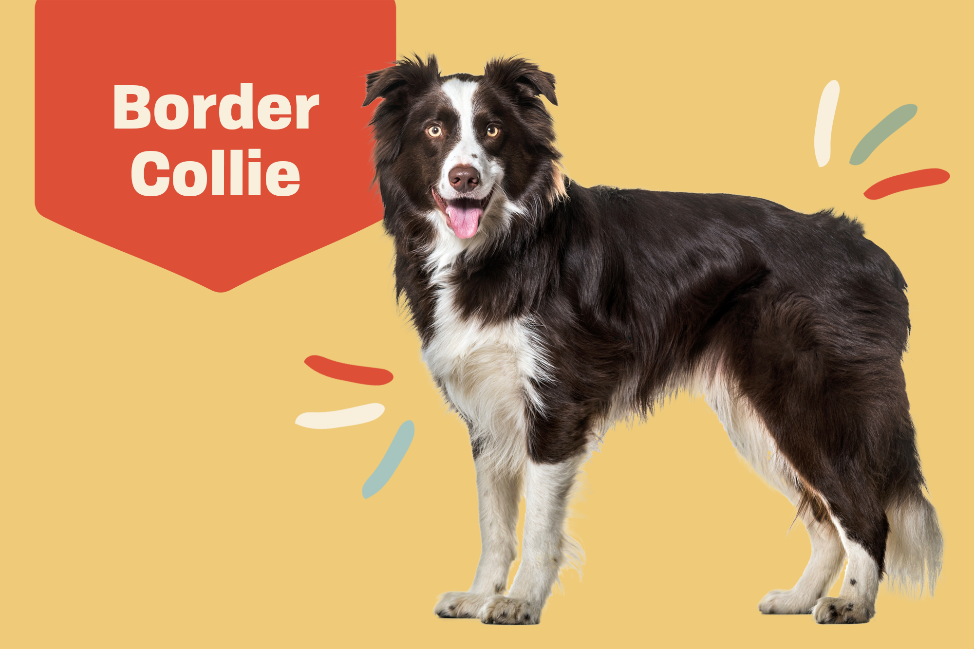 Loving new border looking homes for collies CAORA BORDER
