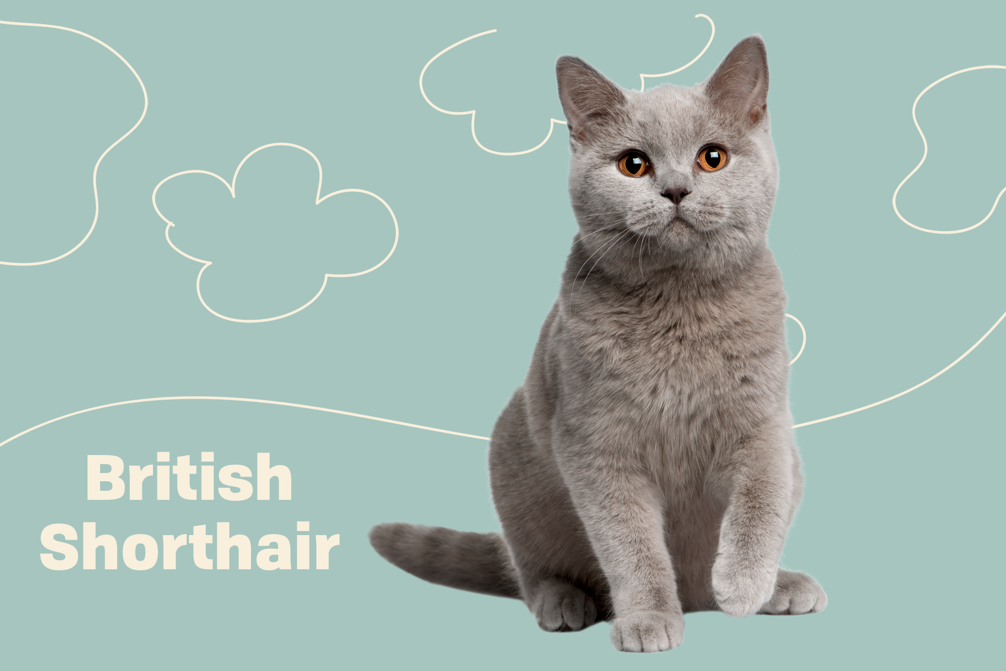 British Shorthair Cat Breed Information Characteristics Daily Paws