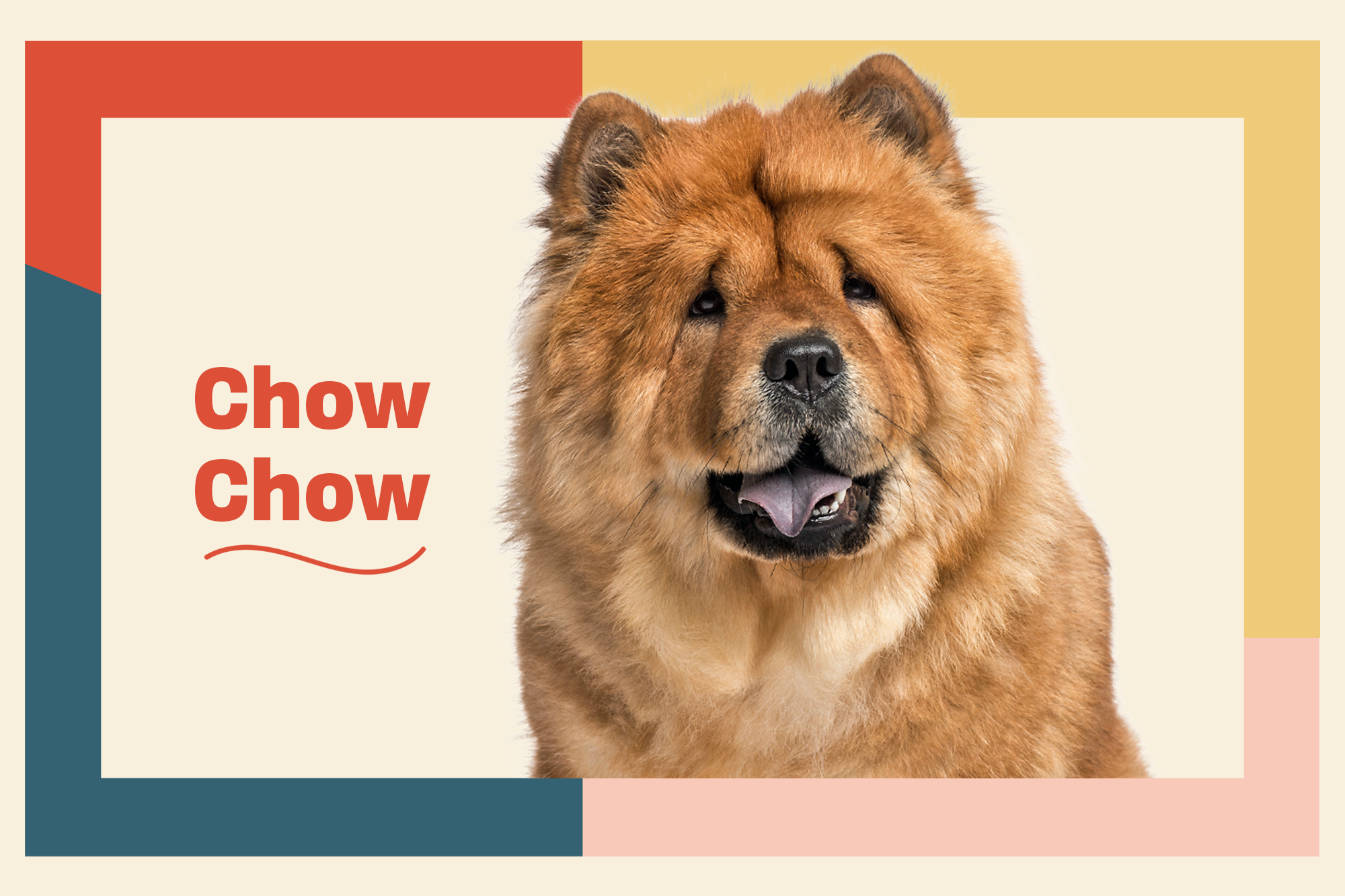 Chow Chow Dog Breed Information Characteristics Daily Paws