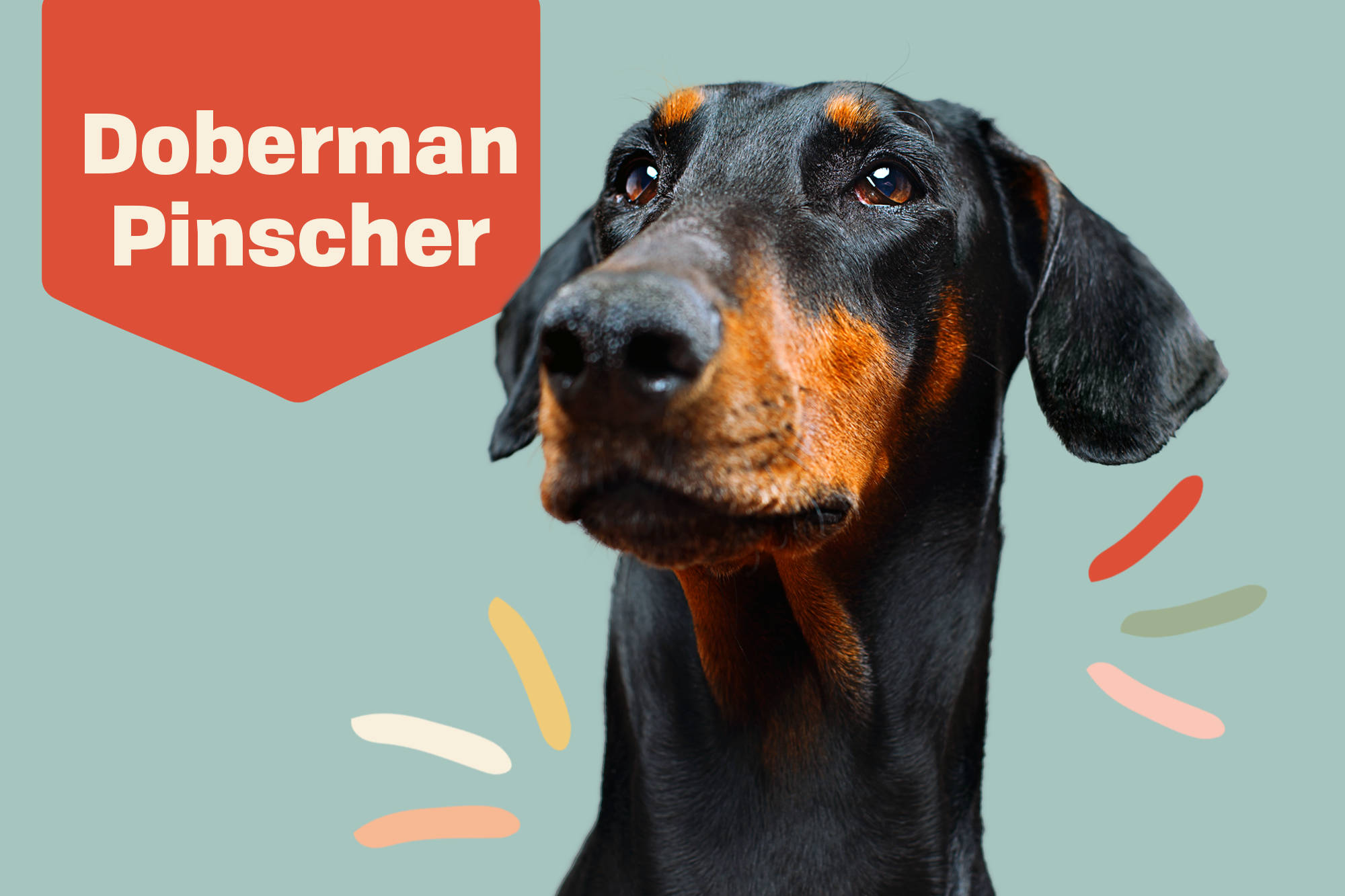 Doberman Pinscher Dog Breed Information Characteristics Daily Paws