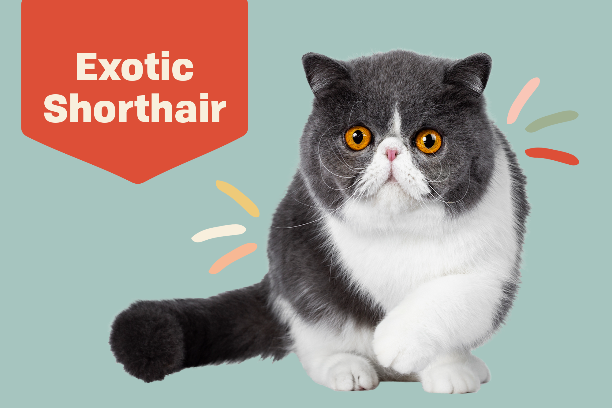 Exotic Shorthair Cat Breed Information Characteristics Daily Paws