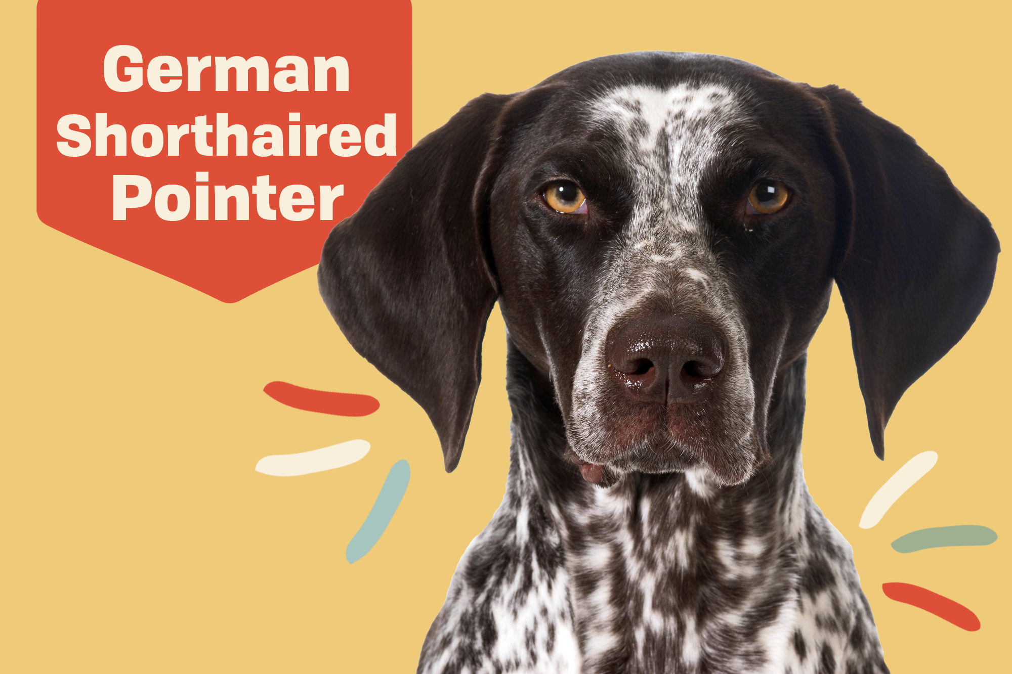 German Shorthaired Pointer Gsp Dog Breed Information Characteristics Daily Paws
