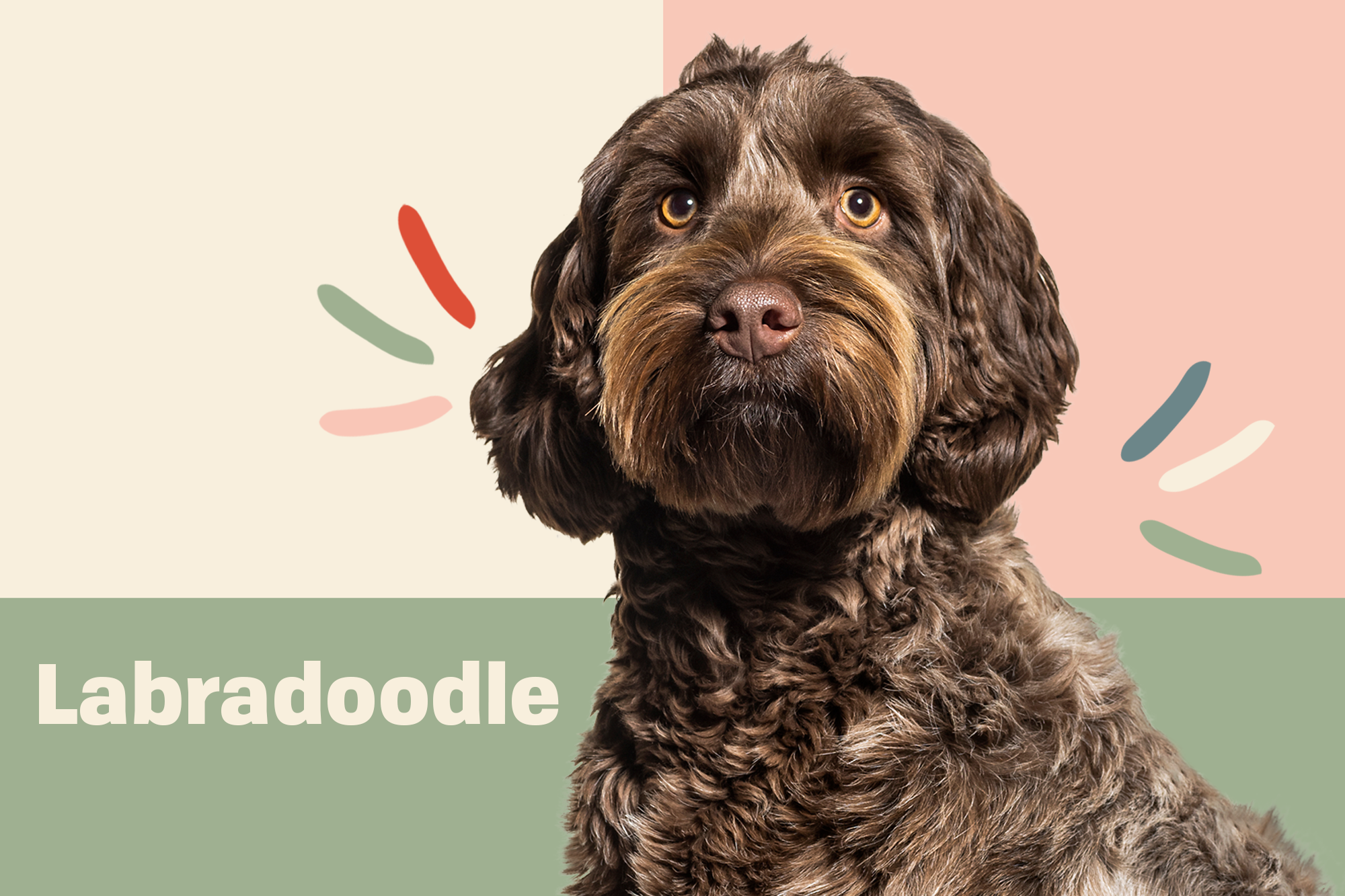 Labradoodle Dog Breed Information Characteristics Daily Paws