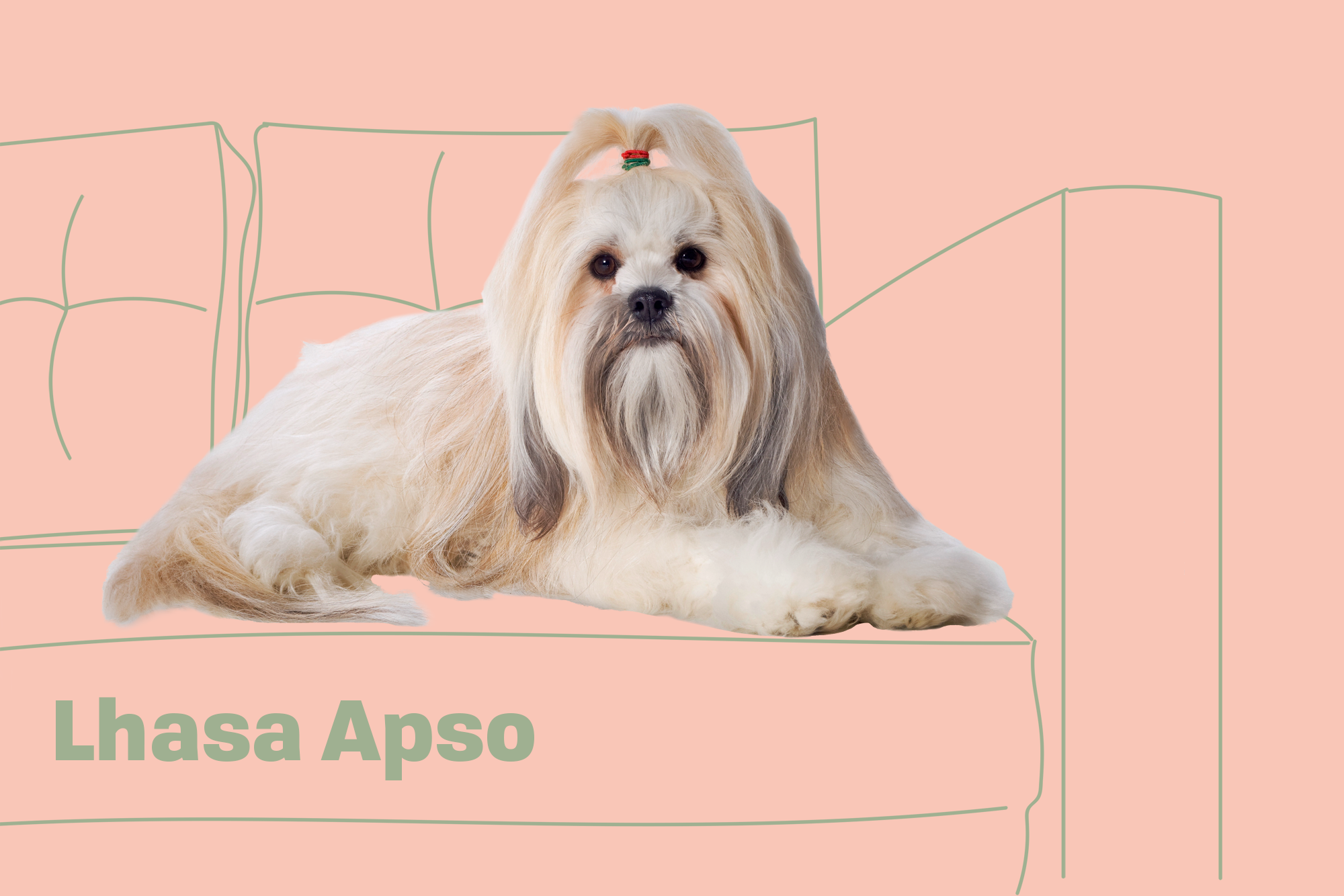 Lhasa Apso Dog Breed Information Characteristics Daily Paws