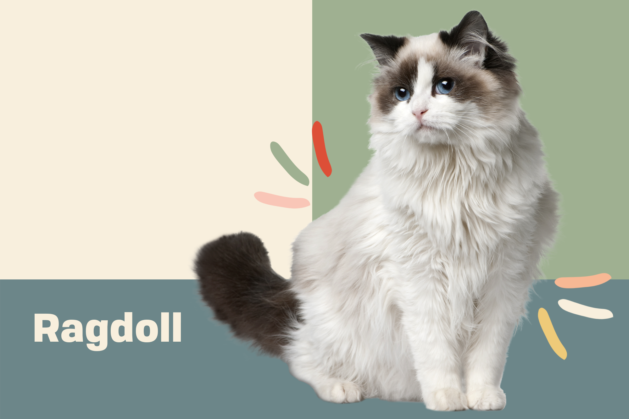 Ragdoll Cat Breed Information Characteristics Daily Paws