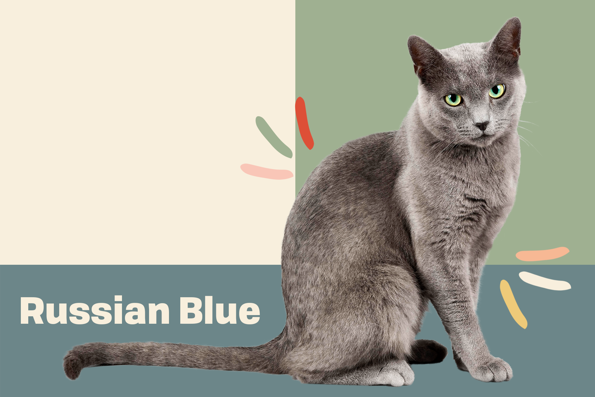 Russian Blue Cat Breed Information Characteristics Daily Paws