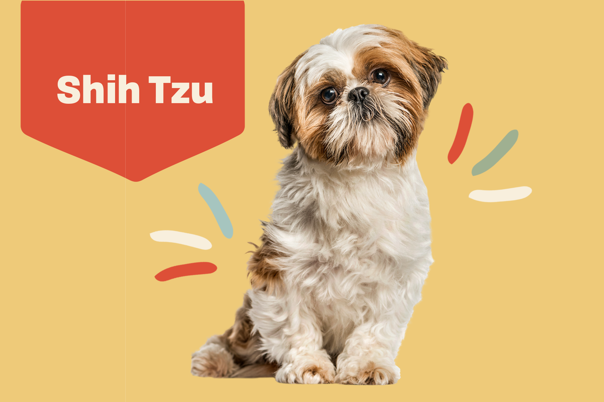 Shih Tzu Dog Breed Information Characteristics Daily Paws