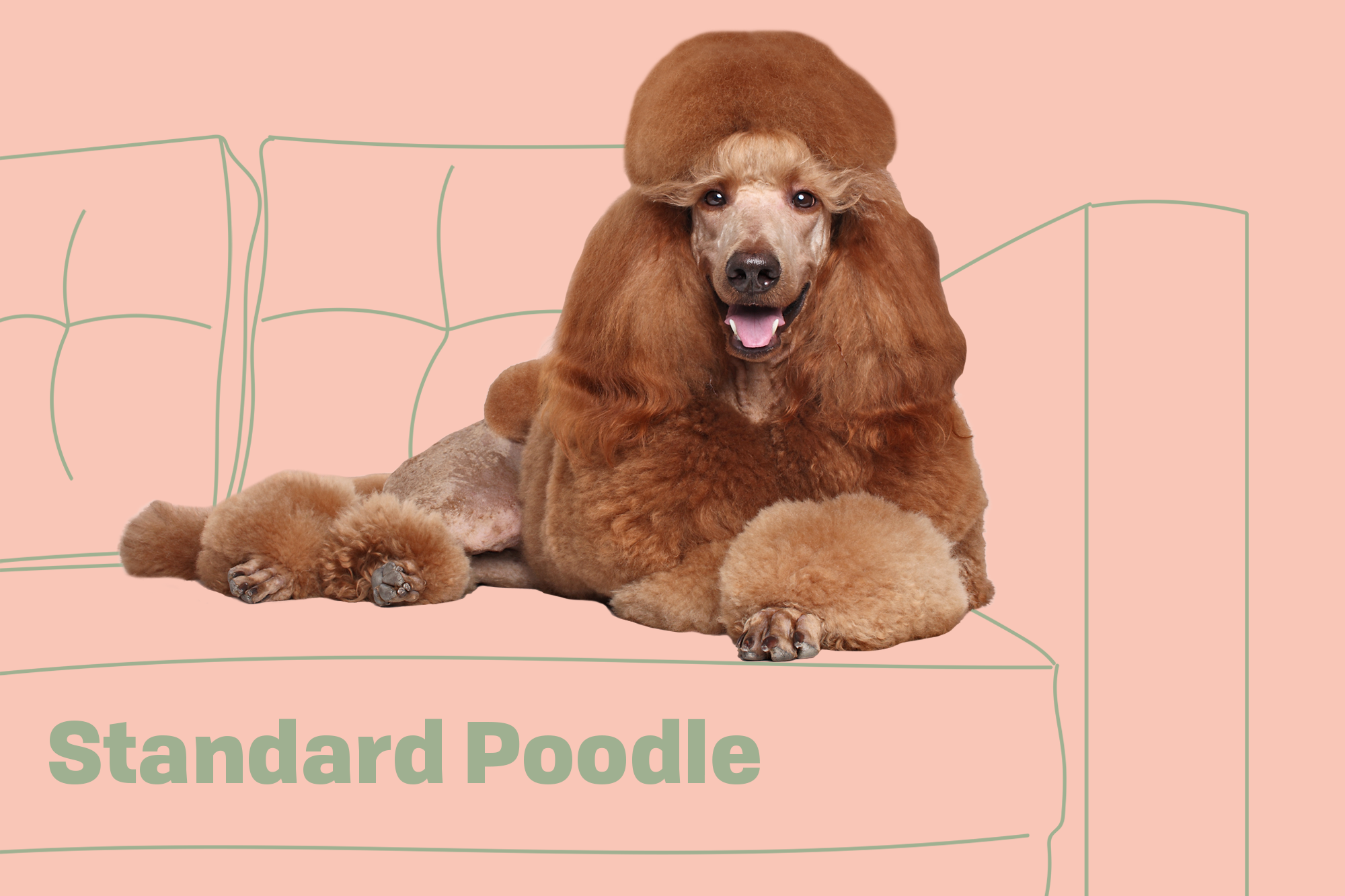 Standard Poodle Dog Breed Information Characteristics Daily Paws