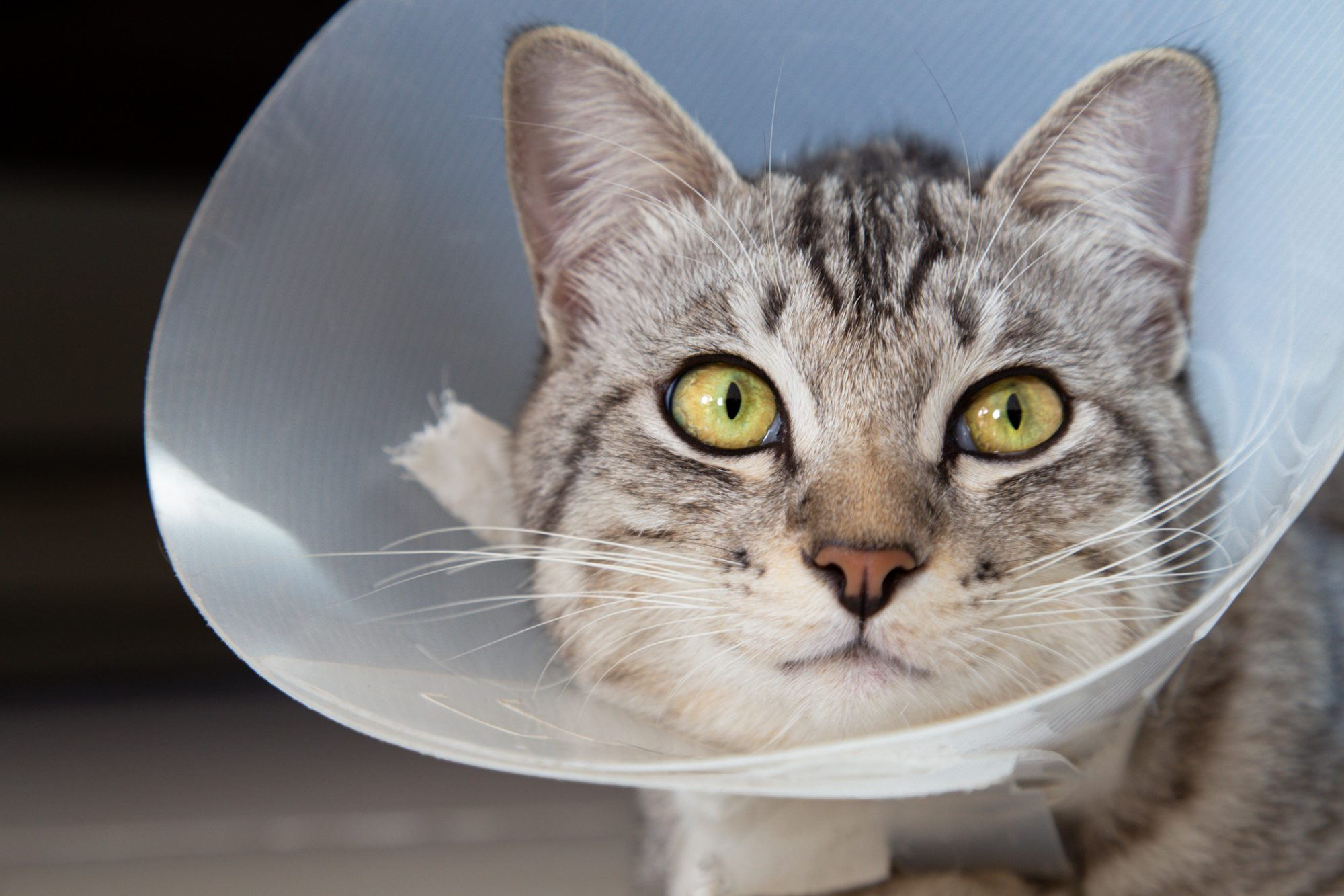 Cat Spaying Aftercare What To Do After The Surgery Daily Paws