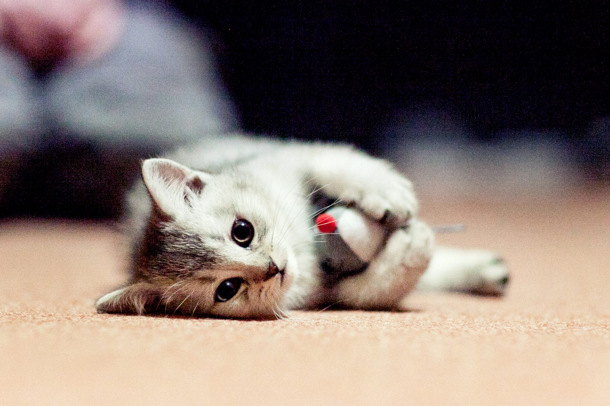 Signs Your Kitten Is Teething And What To Do Daily Paws